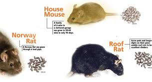 How To Get Rid Of Mosquitoes In My Backyard Get Rid Of Rats And Mice