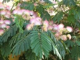 albizia julibrissin silk tree blerick trees buy