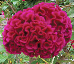 celosia century plant and coconut palm ornamental plants and