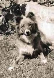 australian shepherd vs english shepherd english shepherds vs old time scotch collies dogs pinterest