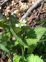 plants native to maryland maryland biodiversity project garlic mustard alliaria petiolata