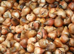 plant spring flowering bulbs in the fall gardening in the panhandle