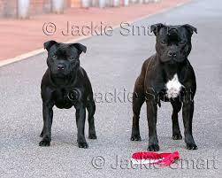 american pit bull terrier zucht great n glory staffordshire bull terrier