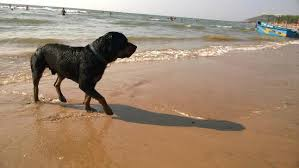 fetcher rottweiler dog named pluto ludo fetched stones