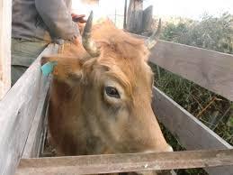 chambre agriculture haute corse race bovine corse accueil