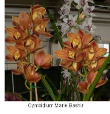 buy an orchid buy orchid plants cymbidium orchids cymbidiums are the best