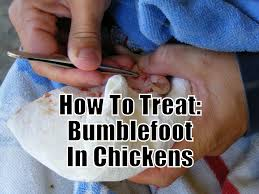 how to treat bumblefoot in chickens raising chickens