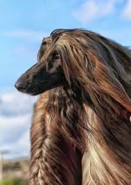 afghan hound puppies youtube youtube favorite afghan hound dog videos u0026 pictures pinterest