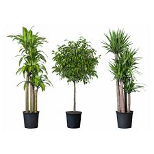indoor tropical plants dracaena warneckii lemonlime low light