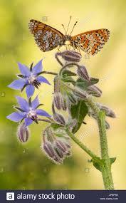 two butterflies flowers stock photos u0026 two butterflies flowers