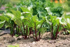 young beetroots in vegetable intercropping cultivation eco