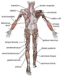 Shoulder And Arm Muscles Anatomy Which Muscles Does A Rowing Machine Work Find The Best Rowing