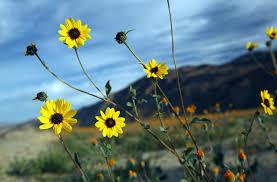 catarpillars are eating the desert flowers the san diego union