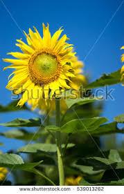 sunflowers sunflower garden sunflowers blooming sunflower stock