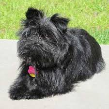 affenpinscher vs brussels griffon all small dog breed list a to z with pictures u0026 descriptions