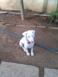 american pitbull terrier in india rajapalayam indian sighthound rajapalayam pinterest dog