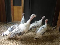 royal palm turkeys indianapolis in 46221 photo inside