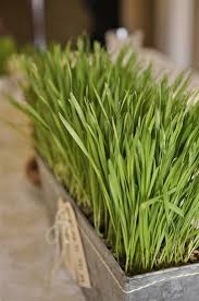 easter grass in bulk grow your own easter grass your homebased