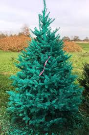 thieves cut blue turquoise trees troopers say