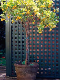 best 25 lemon tree potted ideas on lemon tree plants