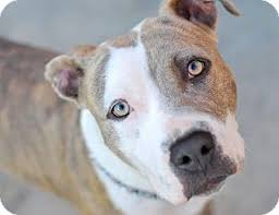 boxer dog for adoption molly adopted dog los angeles ca pit bull terrier boxer mix