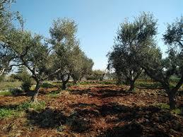 olive harvest tour discover the secret to olive
