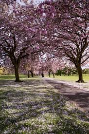 pink ornamental cherry trees free stock photo domain pictures