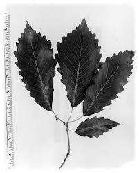 usda native plants quercus montana u2014 the native plant society of northeastern ohio