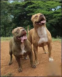american pitbull terrier dog images 102 best american pitbull terrier images on pinterest pitbull