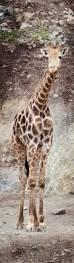 best 25 giraffe images ideas on pinterest baby animals kissing
