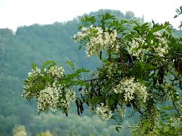 acacia flower pictures acacia tree flowers