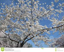 white cherry blossom white cherry blossom tree stock photo image of bloom 43352008