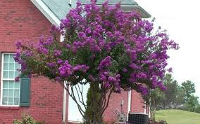 ornamental trees for planting close to houses wearefound home design