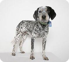 bluetick coonhound figurine bluetick coonhound ornament with toy raccoon porcelain 25 00