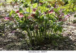 black hellebore helleborus niger stock photos black hellebore