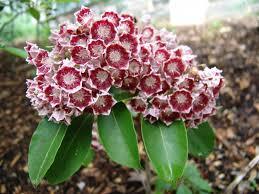 kalmia latifolia plants of the week june 10 u2013 the scott arboretum u0027s garden seeds