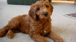 australian shepherd and beagle mix goldendoodle golden retriever poodle mix