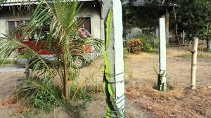 old purple dragon fruit plant cuttings grows longer youtube