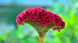 coxcomb flower cockscomb flower hd1080p