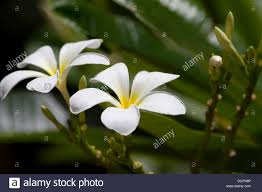 native flowering plants plumeria flowering plants in the family apocynaceae native to