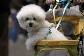 bichon frise whining what you need to know about bringing home bichon frise puppies
