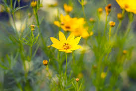 mahoney s garden center late summer bloomers coreopsis grandiflora large flowered tickseed count on any of the coreopsis varieties to provide warm yellow tones to the garden
