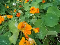 Edible Flowers Edible Flowers List 5 Plants For Culinary Creations Countryside
