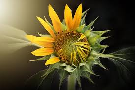 sunflower pictures sunflower images pixabay free pictures