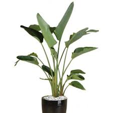 indoor plant plant info giant bird of paradise indoor plant hire tropical