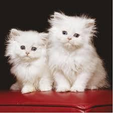 gatti persiani bianchi gatti persiani bianchi 500 pezzi da www ilgiocattolo it