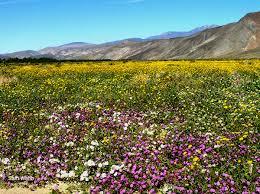 anza borrego wildflowers guide to anza borrego desert henderson canyon