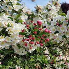 best flowering trees to plant in northeast ohio