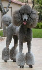different styles of hair cuts for poodles lovely poodle pet clip desert reef s silver addition addie girl