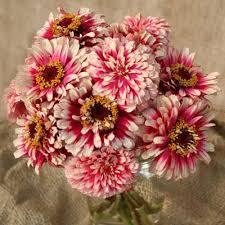 Zinnia Flower Zinnia Mazurkia U2013 Harris Seeds